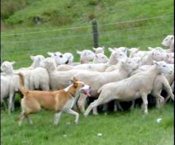 De mener des troupeaux de 700 bêtes avec seulement quelques bergers